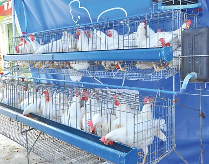 Category Archives: Poultry egg production in the Philippines