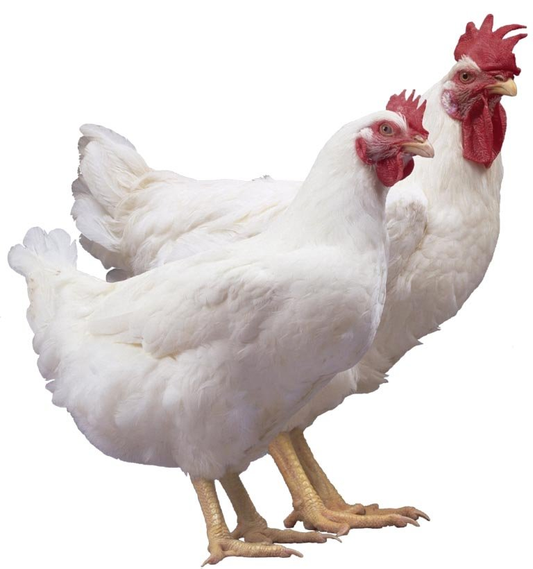 Chicken Breeds in the Philippines and Choosing the Right One